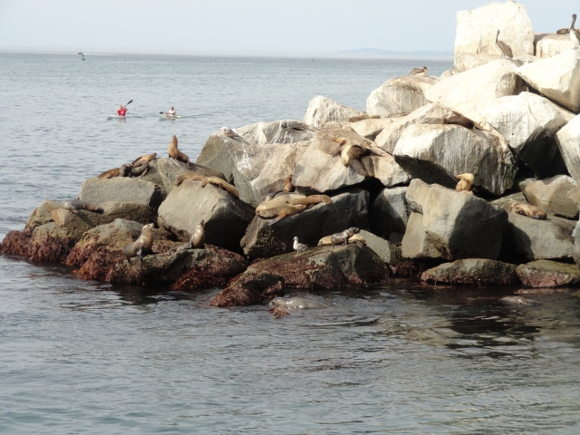 Coming up on the sea lions at the end of Dana Point Harbor